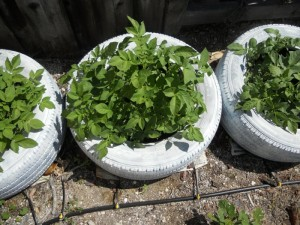 Plant containers from old car tires3