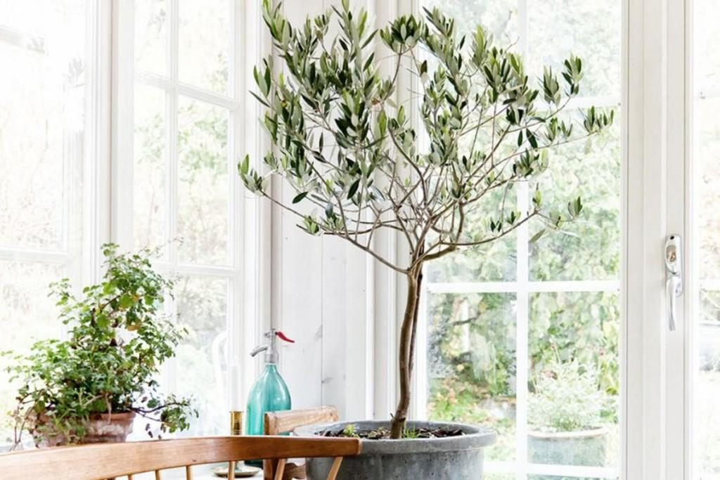 interior decorating with olive trees3