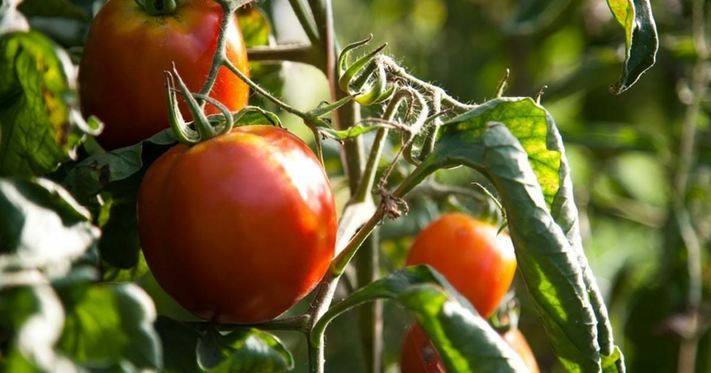 cultivate your own tomatoes in a planter2