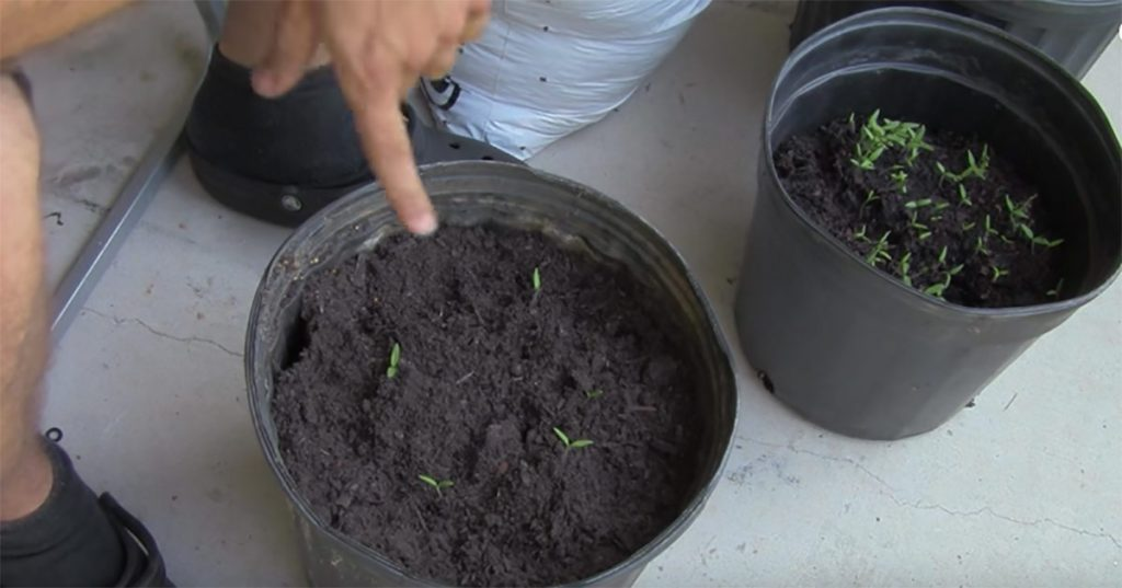cultivate your own tomatoes in a planter7