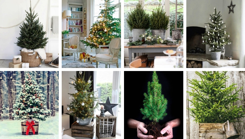 Great ideas to cultivate the Christmas tree in a pot and admire it for many more years