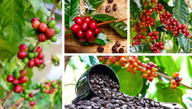 Coffee tree cultivation – an interesting addition in your garden